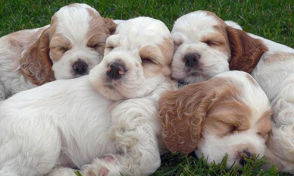 Perritos o Cachorros