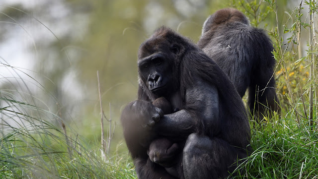 Graban cómo los gorilas salvajes 'cantan' mientras comen
