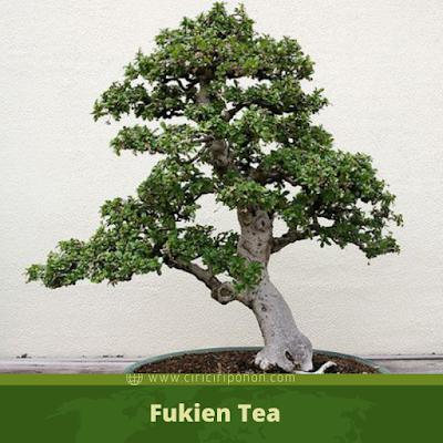 fukien tea