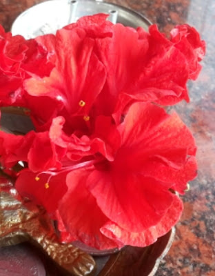 Picture of Hibiscus flower, jaswan