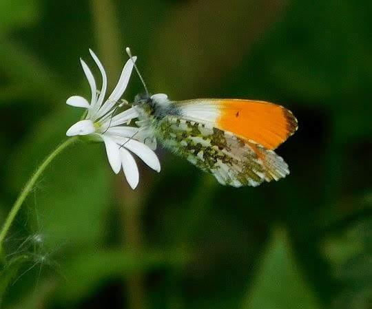 Gwiazdnica gajowa (Stellaria nemorum) i zorzynek rzeżuchowiec (Anthocharis cardamines).