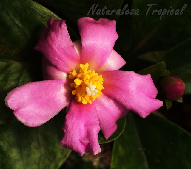 Detalles de la flor del Cactus Rosa, Pereskia grandifolia