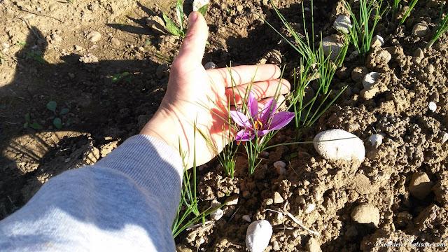 Saffron Fiore del Natisone 2017