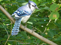The Blue jay is the provincial bird of Prince Edward Island - photo by Marie Smith