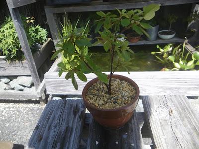 ツツジ ミニ盆栽