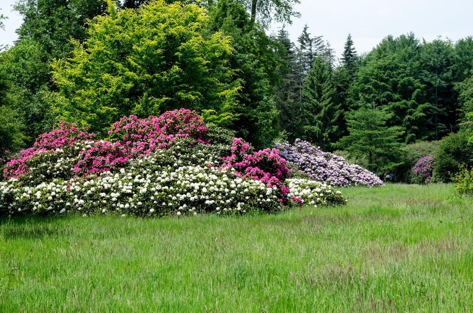 baum des tages rhododendron 3. Black Bedroom Furniture Sets. Home Design Ideas