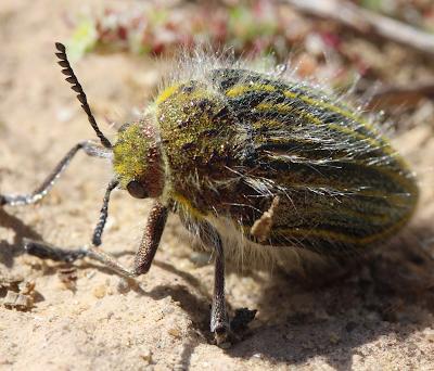 חיפושית יולנדיס ברקנית