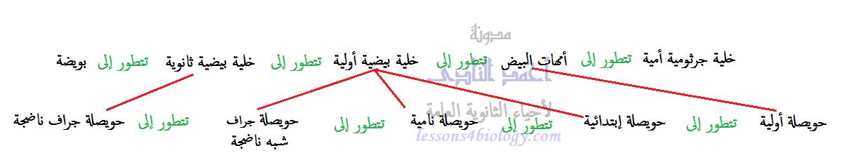 مراحل تطور البويضة داخل الحويصلة