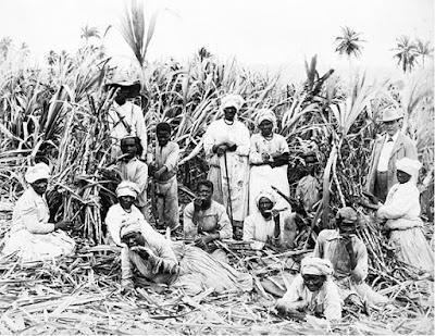 Şeker kamışı tarlaları ve işçiler