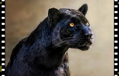 Black leopard (melanistic)