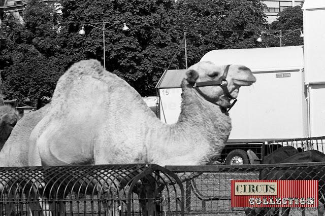Dromadaire au zoo du Cirque National Suisse Knie  1970