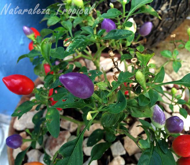 Vista de los frutos del Ají o Pimiento de Jardín, Capsicum annuum