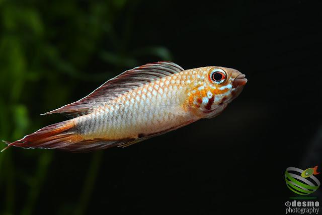 Apistogramma cf. flabellicauda / Rio Negro, Colombia
