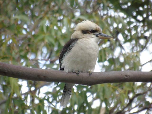 Kookaburras australian wildlife