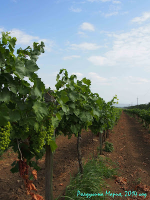 Тамань казачий хутор фото виноградники