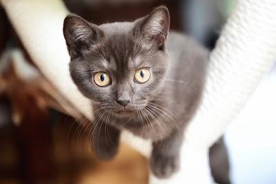القط البريطاني ذو الشعر القصير British shorthair