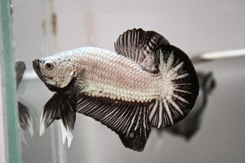 Image Dragon Betta Fish