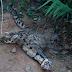 (5 Foto) APM Tangkap Harimau Dahan Dipercayai Baham Anjing, Anak Berjaya Lepaskan Diri