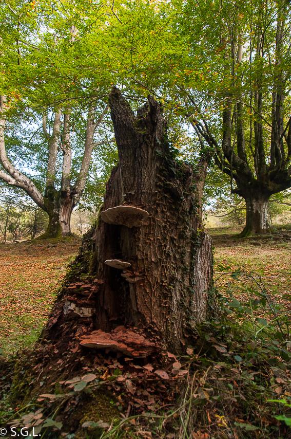 Detalle del Hayedo de Otzarreta en parque natural de Gorbeia en Bizkaia