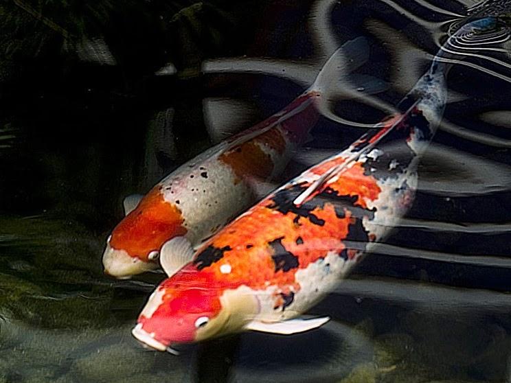 Cara Mudah Budidaya Ikan Koi - Dunia Akuarium