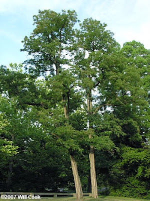 algarrobo negro Robinia pseudoacacia