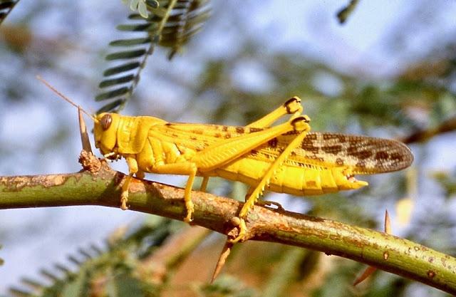 Desert locusts remain a serious threat to Pakistan