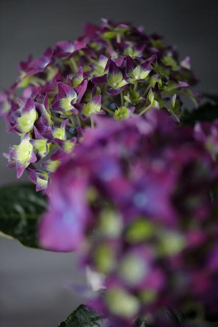 violetti, hortenssia, taustaväri