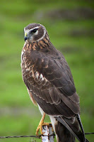 Northern Harrier, female – Mill Valley, CA – Jan. 2006 – photo by Len Blumin