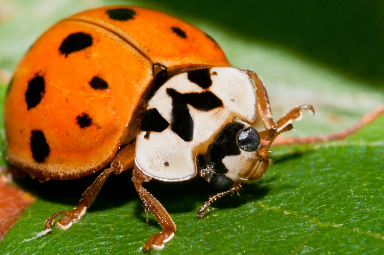 Asian Multicolored Lady Beetle ! Garden Bible