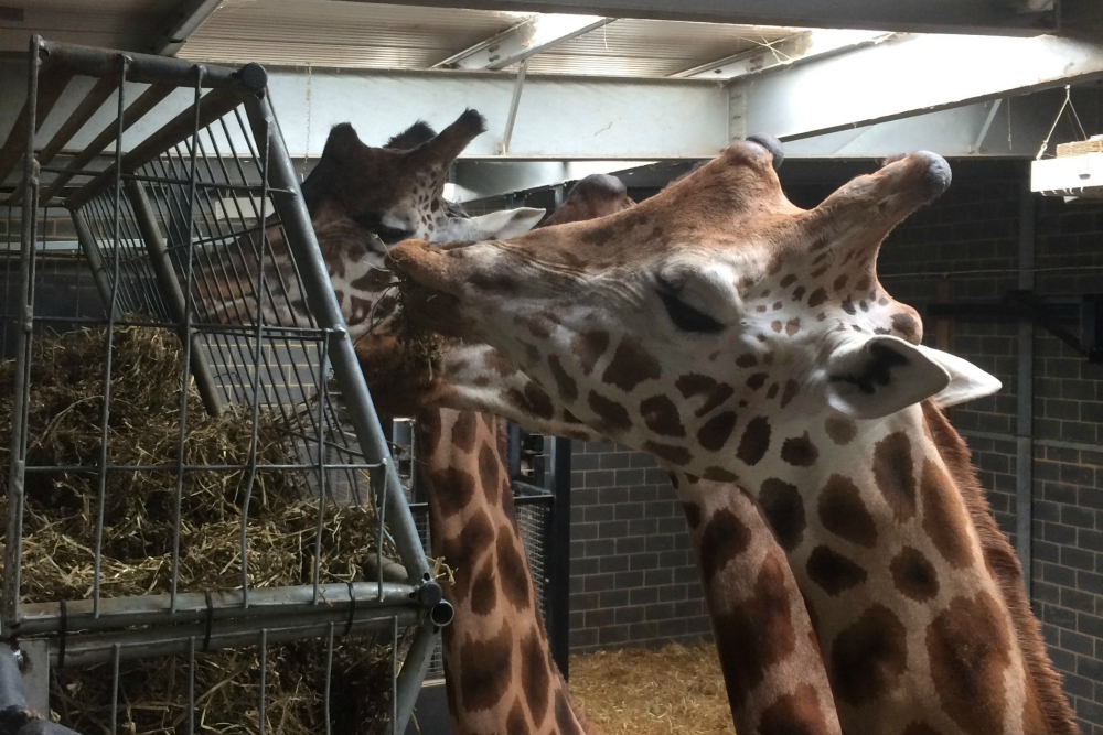 Giraffe Feeding at Chessington