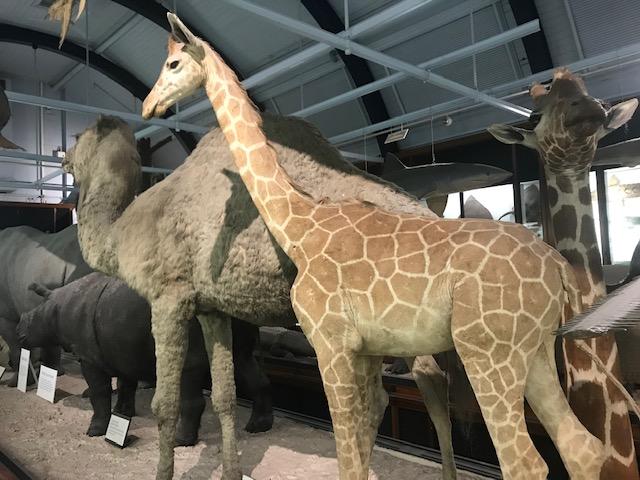 Tring, Natural History Museum, Africa, Mammals, Giraffes,Camels, Rhinos,