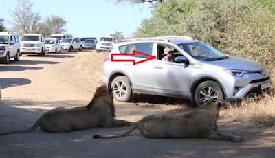 Pengendara santuy buka jendela saat melewati dua singa besar.
