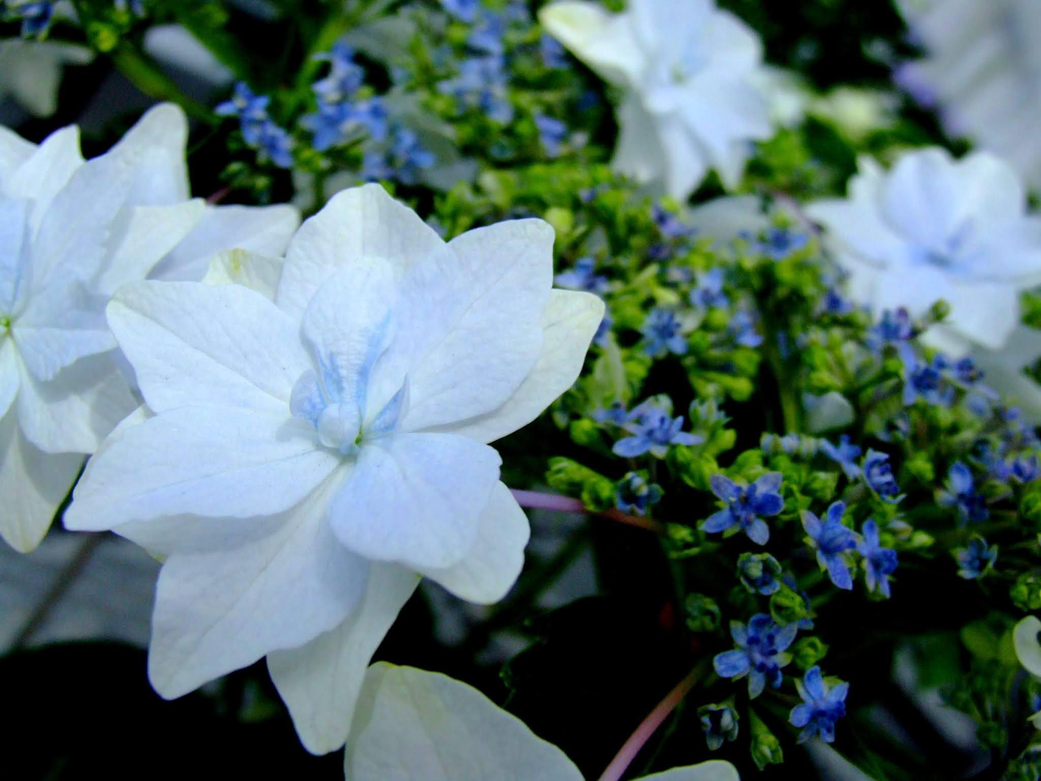 墨田の花火というガクアジサイです。薄いブルーの花弁と花火のような咲き方が本当に可愛いですよね。