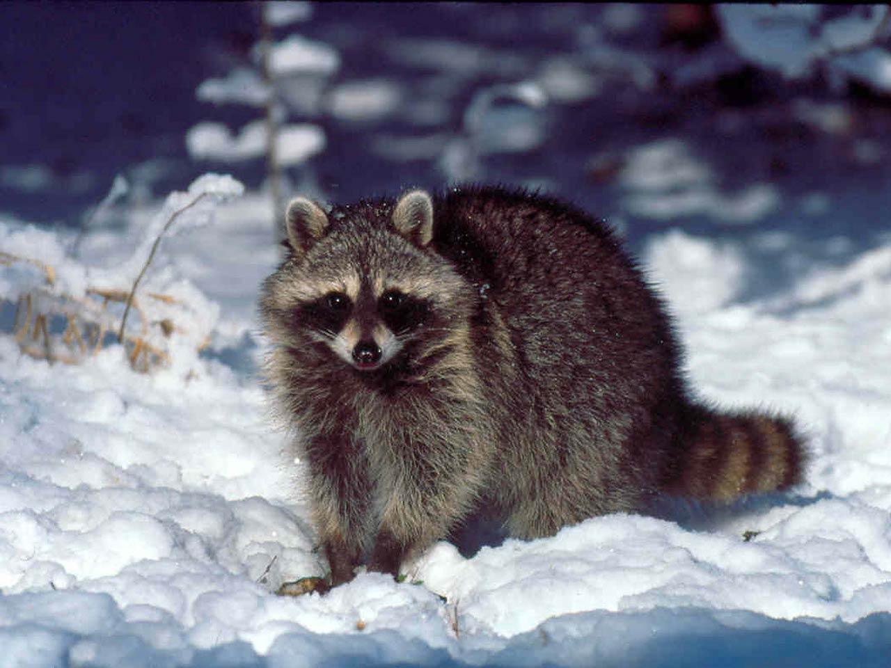 raccoon+wallpapers+2.jpg