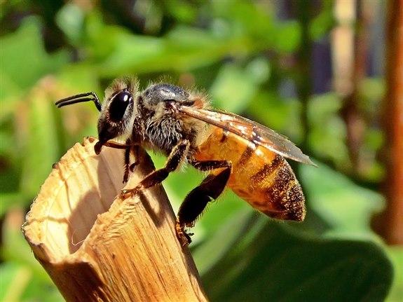 A hayvan arı