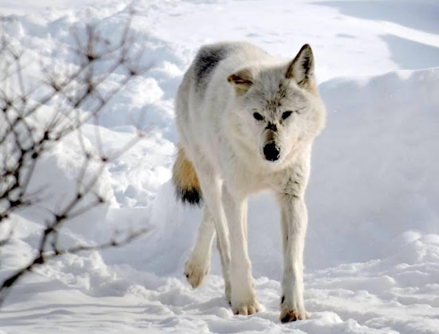 Wolf Photography, Wolf,
