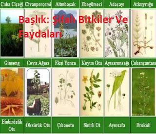 Başlık: Şifalı Bitkiler Ve Faydaları