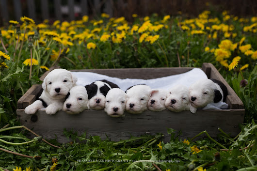 Old English Sheepdog Puppies | March 2017