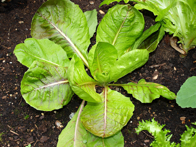 Mark's Veg Plot: Winter salads