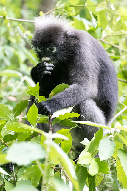 Scimmia sull'Isola di Wua Talap-Angthong national park
