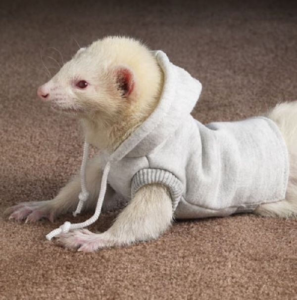 Funny Ferret Best PhotosPictures 2012 Funny Animals