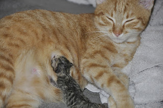 Kucing Setelah Melahirkan Perutnya Masih Besar
