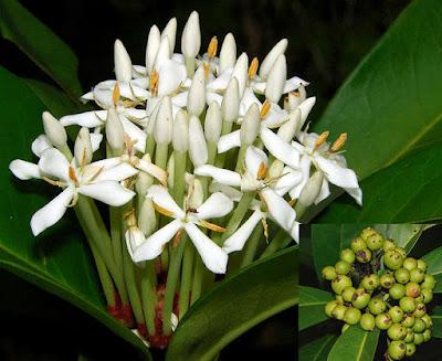 ดอกเข็มอัปสร ดอกเข็มป่าของไทย