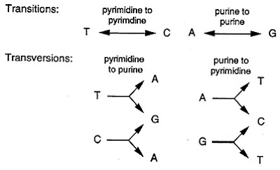 Transition and transverse mutations