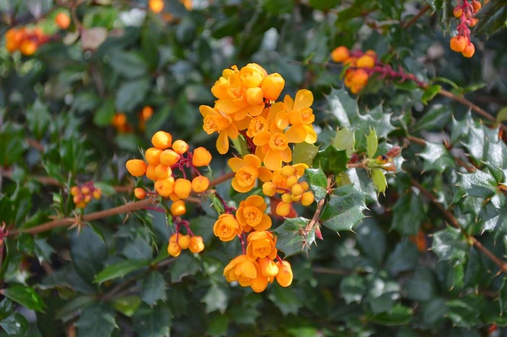 Yellow Bell Shaped Flowering Shrub