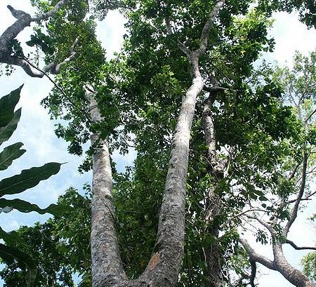 Mengenal karakteristik kayu merbau