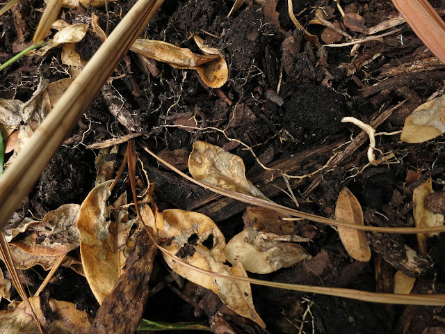 Earth and shriveled brown leaves, some cordyline.