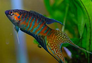 Gambar Ikan Paradise Fish