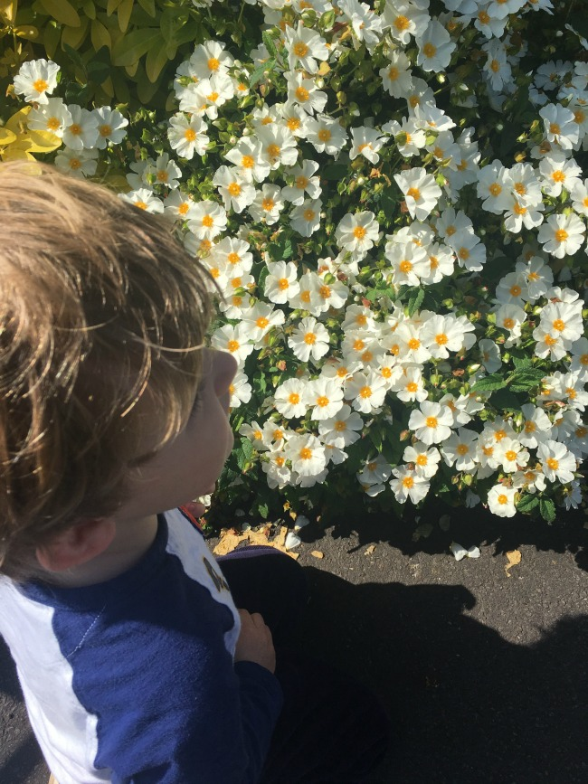 Our-weekly-journal-29th-may-2017-toddler-looking-at-rock-rose-shrubs