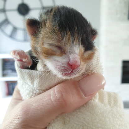 calico kitten wrapped in towel in human hand